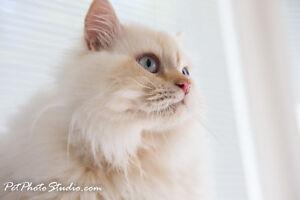 Doll Face Himalayan kittens - Persian lovers Orange kittens