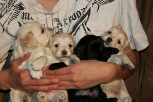 Have to Hava A Havanese