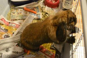 Mignon lapin bélier de compagnie