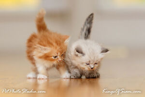 Doll Face Himalayan kittens   Persian lovers stop here!