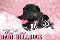 Rainbow litter of frenchie babies!!! 2 males left!!