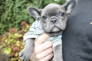 High quality blue French bulldogs for sale