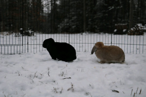 Free bonded pair of lop rabbits
