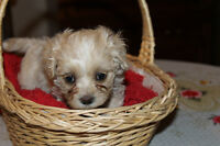 1 femelle  Maltipoo toy a vendre - Hypoallergique