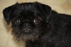 shitzu/pug pup - SOLD, pending pick-up