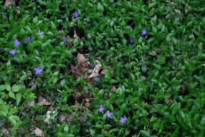 Periwinkle For Sale