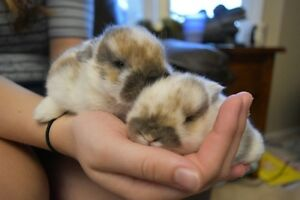 2 pure bred holland lop bunnies