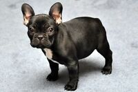 WANTED : looking for a French Bulldog