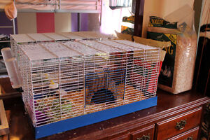 Female guinea pig with cage