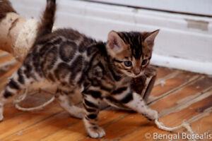 Luxury Bengal Kittens
