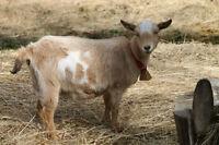 Full Blood unregistered Golden/White Nigerian Dwarf 1 yr old doe