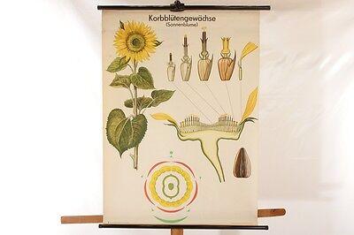 Lehrtafel Schulwandkarte Konrblütengewächse Sonnenblume Wandkarte Rollkarte