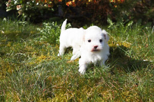 Maltese male puppy looking for new home