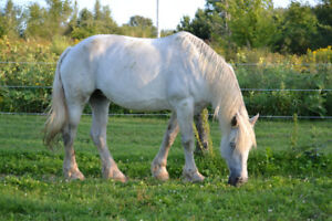 Jument Percheron