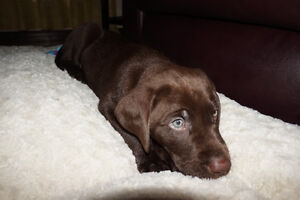 Adorable Chocolate Lab Puppy!!
