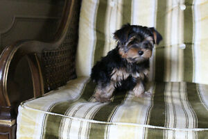 Champion Sired CKC reg  Yorkshire Terriers Kitchener / Waterloo Kitchener Area image 2