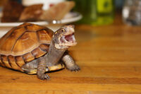 Asian Spotted Box Turtle! Fully Grown Adult Male