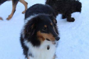 Rough Collies for sale
