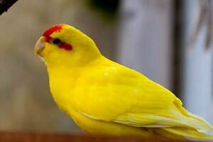 """LOST  -  Yellow  """"Red Fronted""""  Kakariki Gosnells Gosnells Area Preview"""