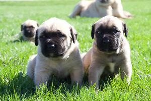 Fawn English Mastiff Puppies