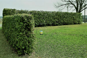 WHITE SWAMP CEDAR  HEDGE TREES AND EMERALD CEDAR TREES FOR SALE