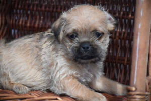 Pug x Puppies two available Ready to go