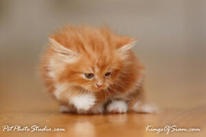 900-1200   Beautiful Persian cats available now for reservations