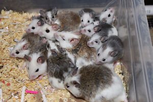 Frozen-Thawed African Soft Fur Rodents