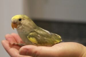 lLovely, super tame white-face pied violet baby lovebird