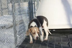 Now Spayed & ADOPTABLE TINY BEAGLE GIRL VISIT CARES TODAY