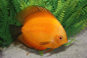 VERY HEALTHY DISCUS FROM 2 TO 6 INCH !!!