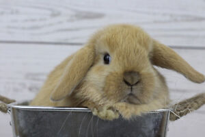 Last holland lop female baby bunny for sale!