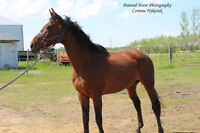 Lacey - Thoroughbred mare