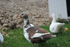 Gorgeous,Young, Female Muscovy Ducks Kitchener / Waterloo Kitchener Area image 1