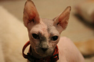 young sphynx cat - hairless