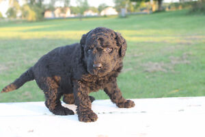 Whoodle puppies for sale -- hypo-allergenic dogs Only 4 left