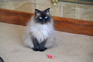 FREE TO GOOD HOME - Male Himalayan needs a new home :-(