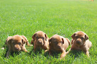 Registered Vizsla Puppies