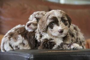 Aussiedoodle Puppies Blue Eyes Rare Colours Low-shedding Doodle