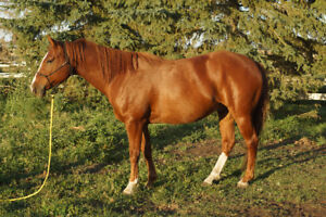 2012 Sorrel Quarter Horse Gelding