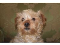 2 Year old Toy Yorke Needs New Home
