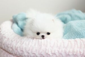 Tiny teacup white pomeranians for sale