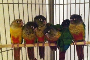 Hand raised super friendly Yellow sided & Pineapple conure babie