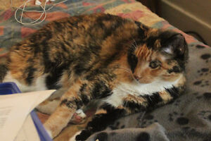 Missing Adult Cat Orange, Black and White Calico in Riversdale