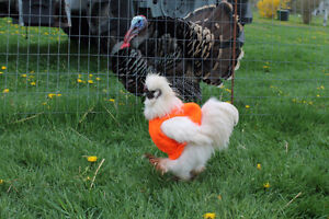 Silkie Hen and Rooster