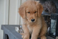 Now Accepting Golden Retriever Puppy Reservations