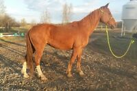 Registered Tennessee Walking Horse Mare for Sale