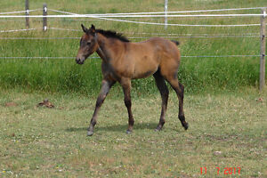 2017 AQHA fillies for sale