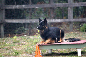 Cam K9 Services offers Board and Train for your young dog.