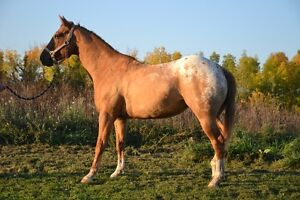 Registered Appaloosa mare